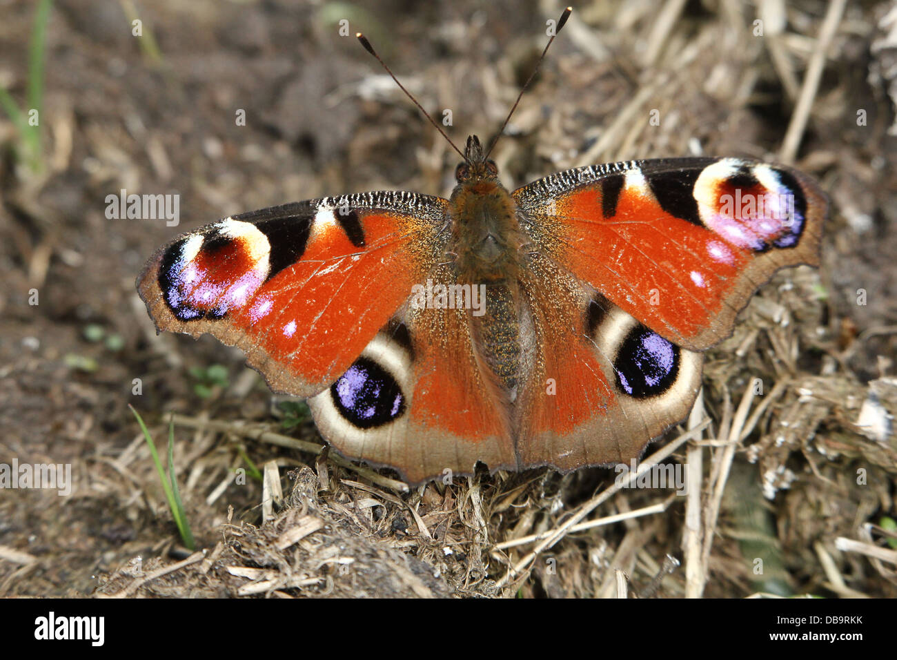European Common Peacock Butterfly Aglais Io Feeding On A