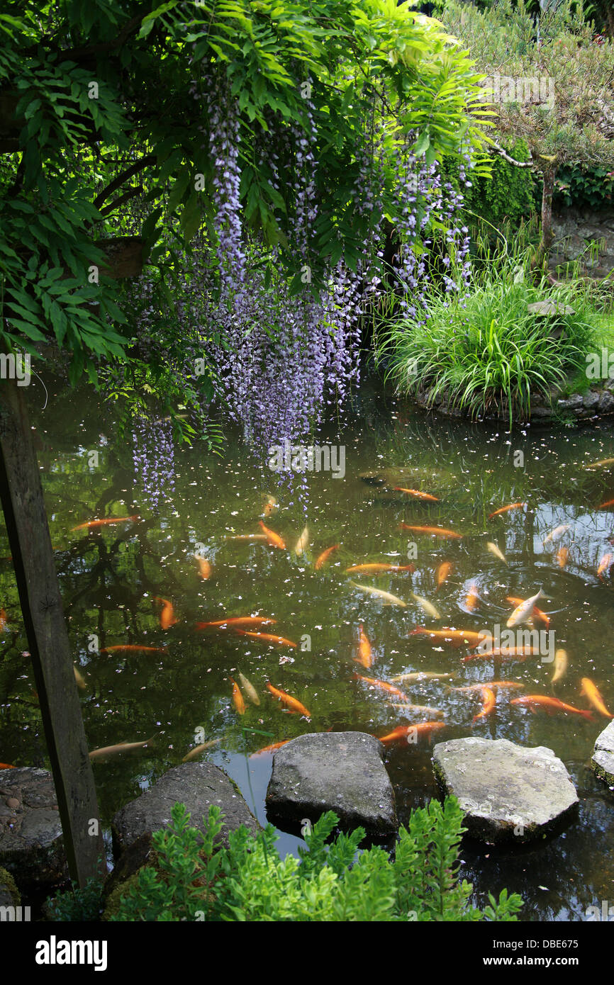 Koi carp pond and wisteria the japanese garden cottered for Japanese koi water garden
