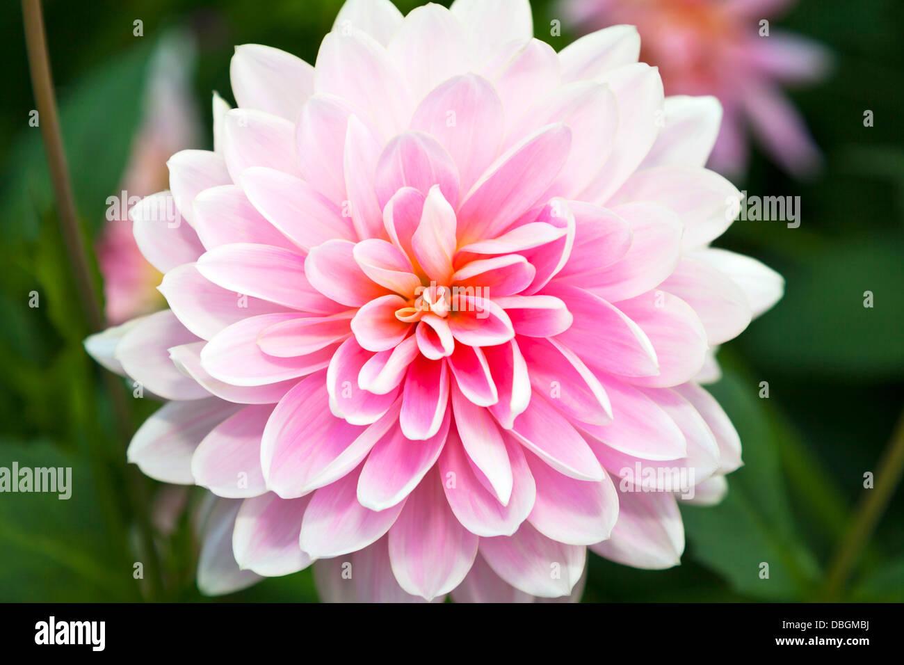 Typical English Garden Plants Flowers Pink Chrysanthemum Often