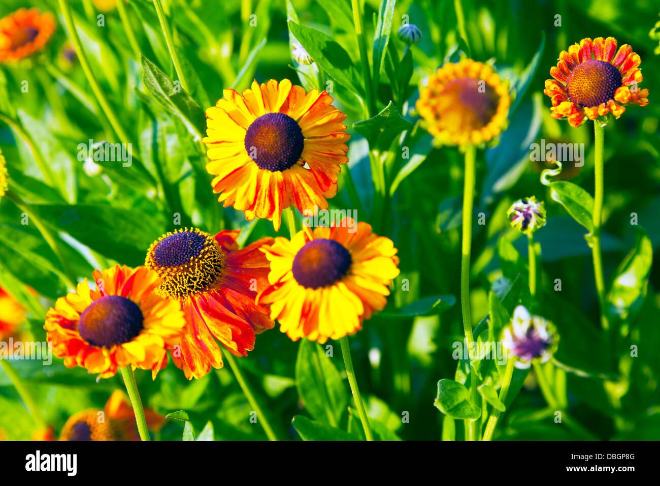 English Garden Flower Helenium Stock Photos English Garden