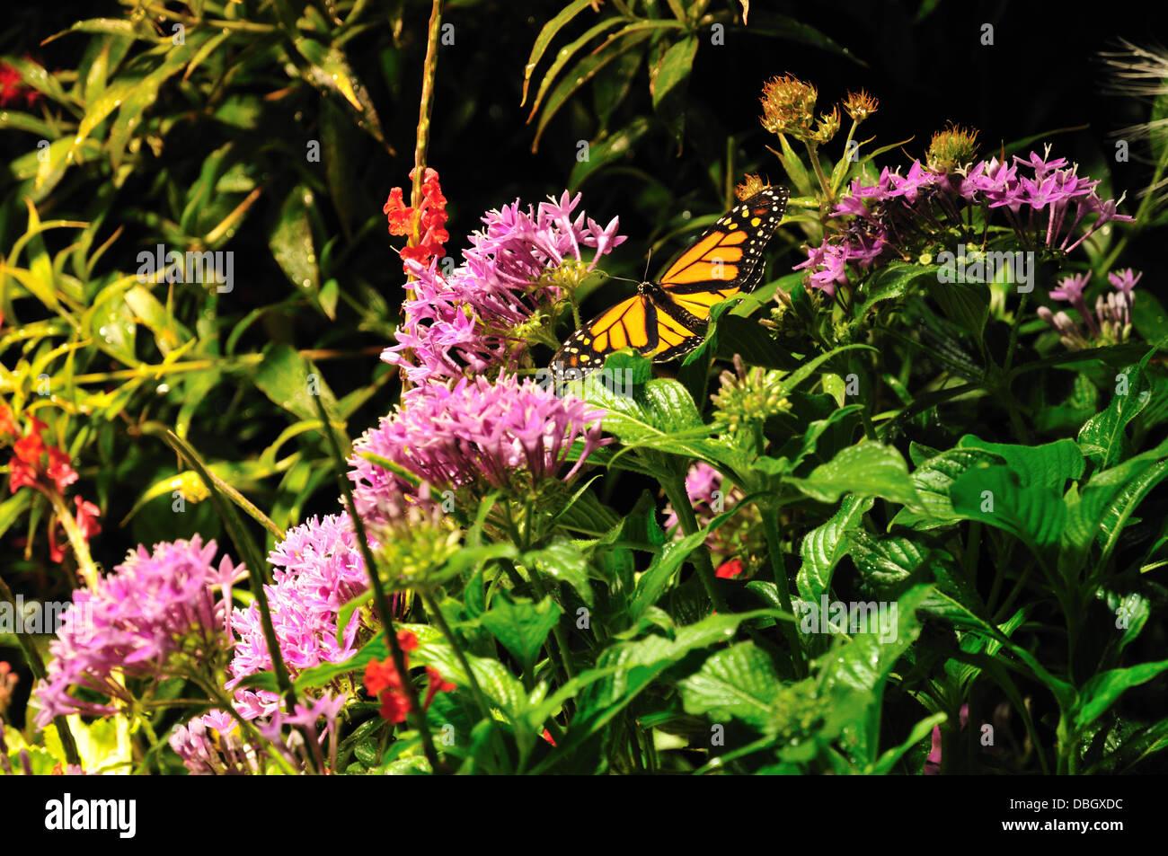 A Monarch Butterfly In The Butterfly Garden Of The Science Museum Of  Western Virginia, Roanoke