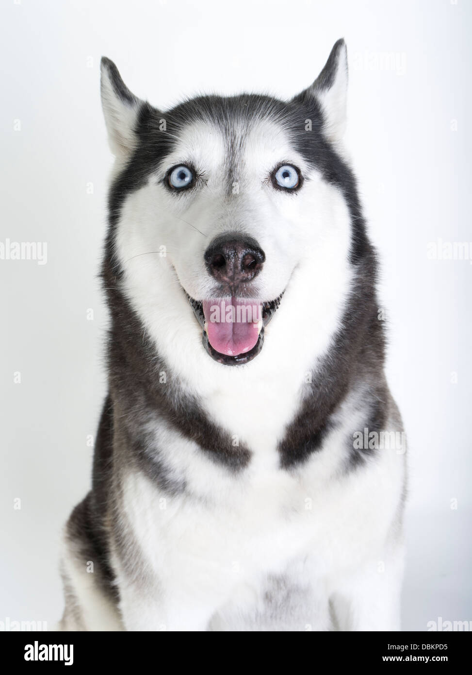 siberian husky with blue eyes on white snow background