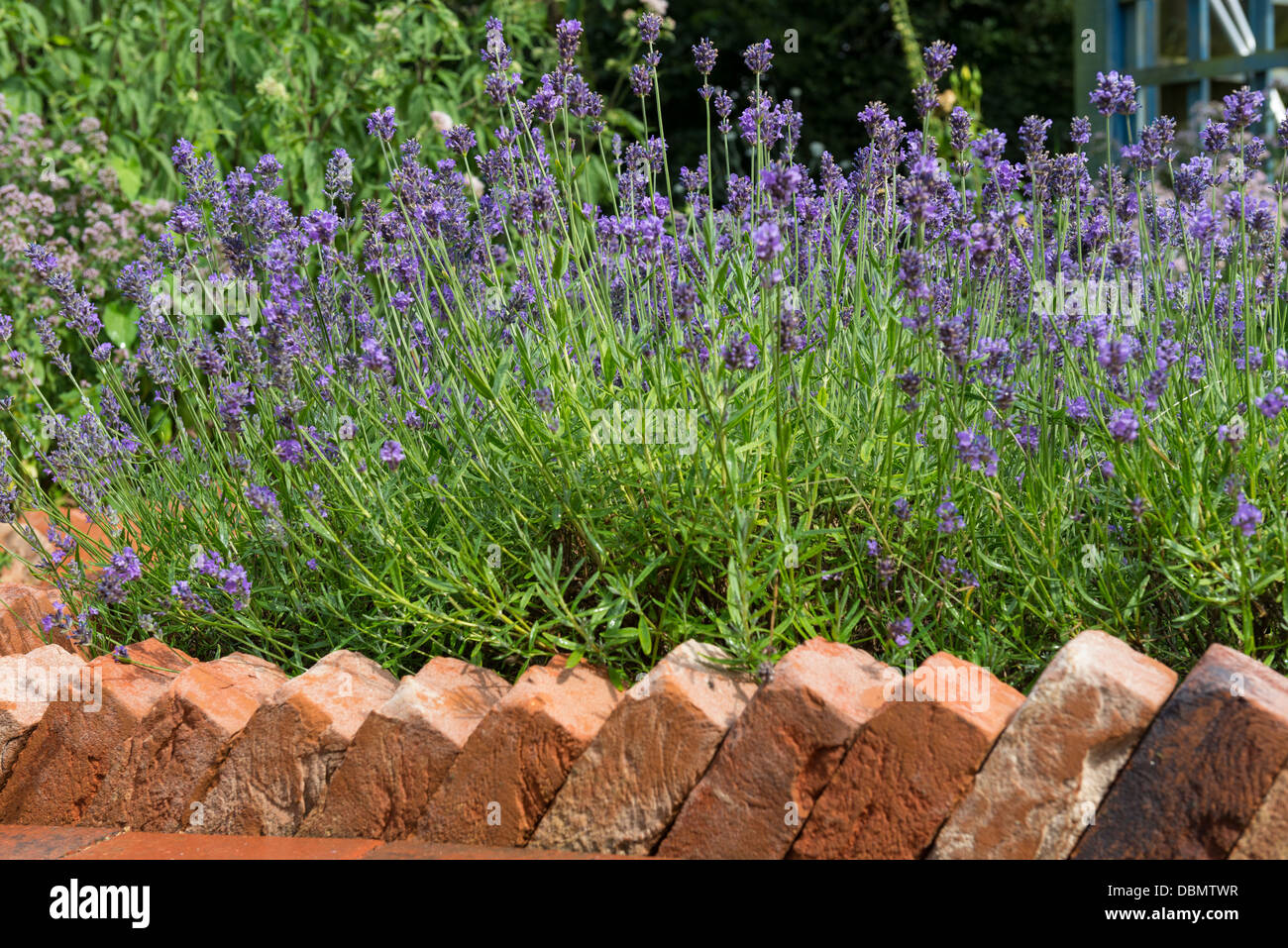 Brick Path Edging In A Sawtooth Design Bordering A Lavender Bed.   Stock  Image