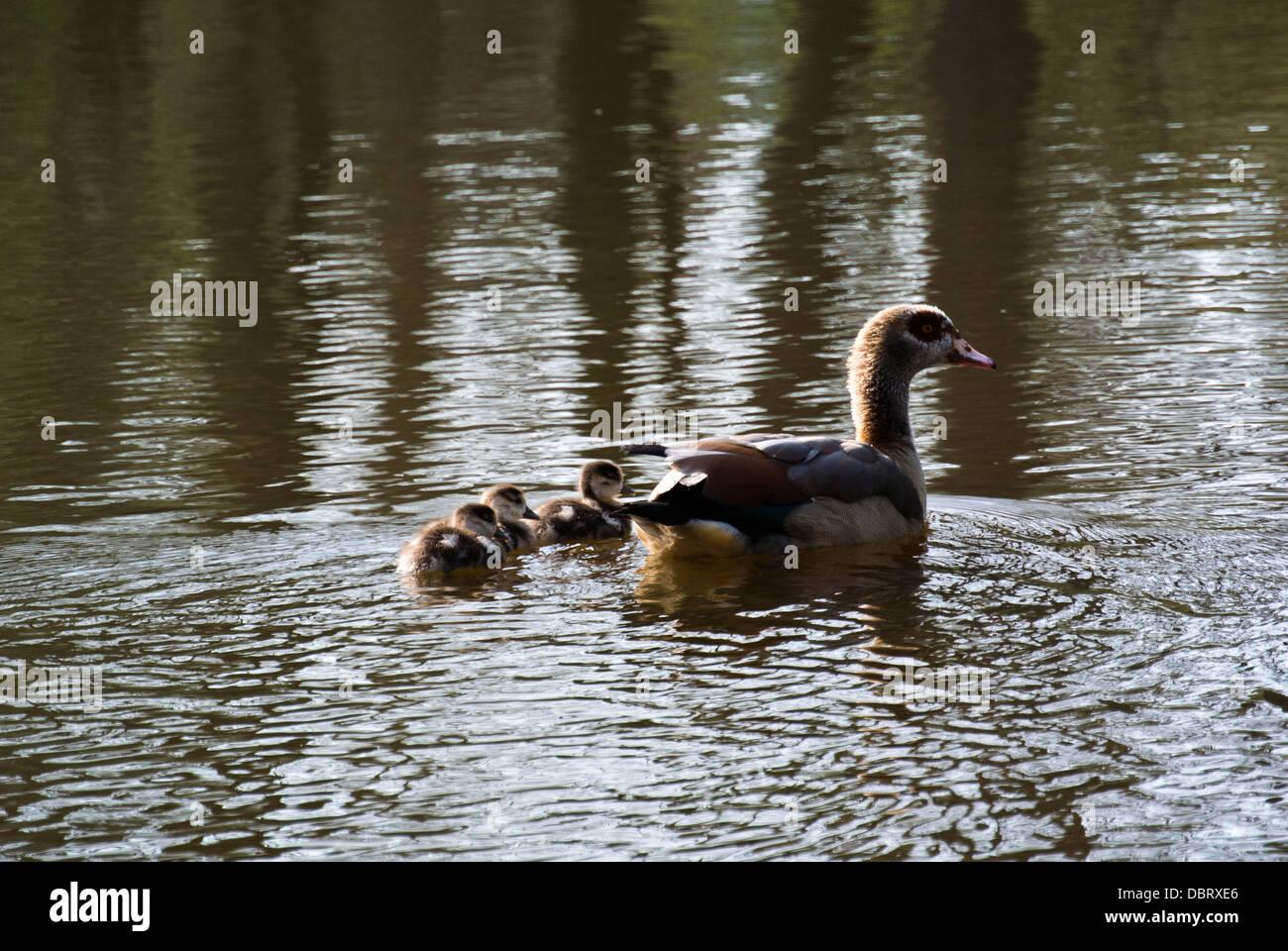 family of ducks swimming on lake stock photo royalty free image