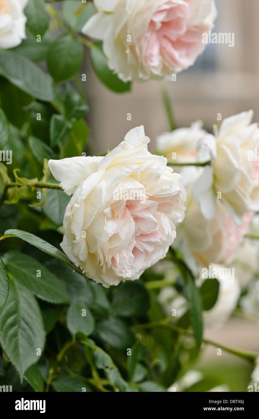 Exceptional Mon Jardin Et Ma Maison #7: Climbing Rose (Rosa Mon Jardin Et Ma Maison)