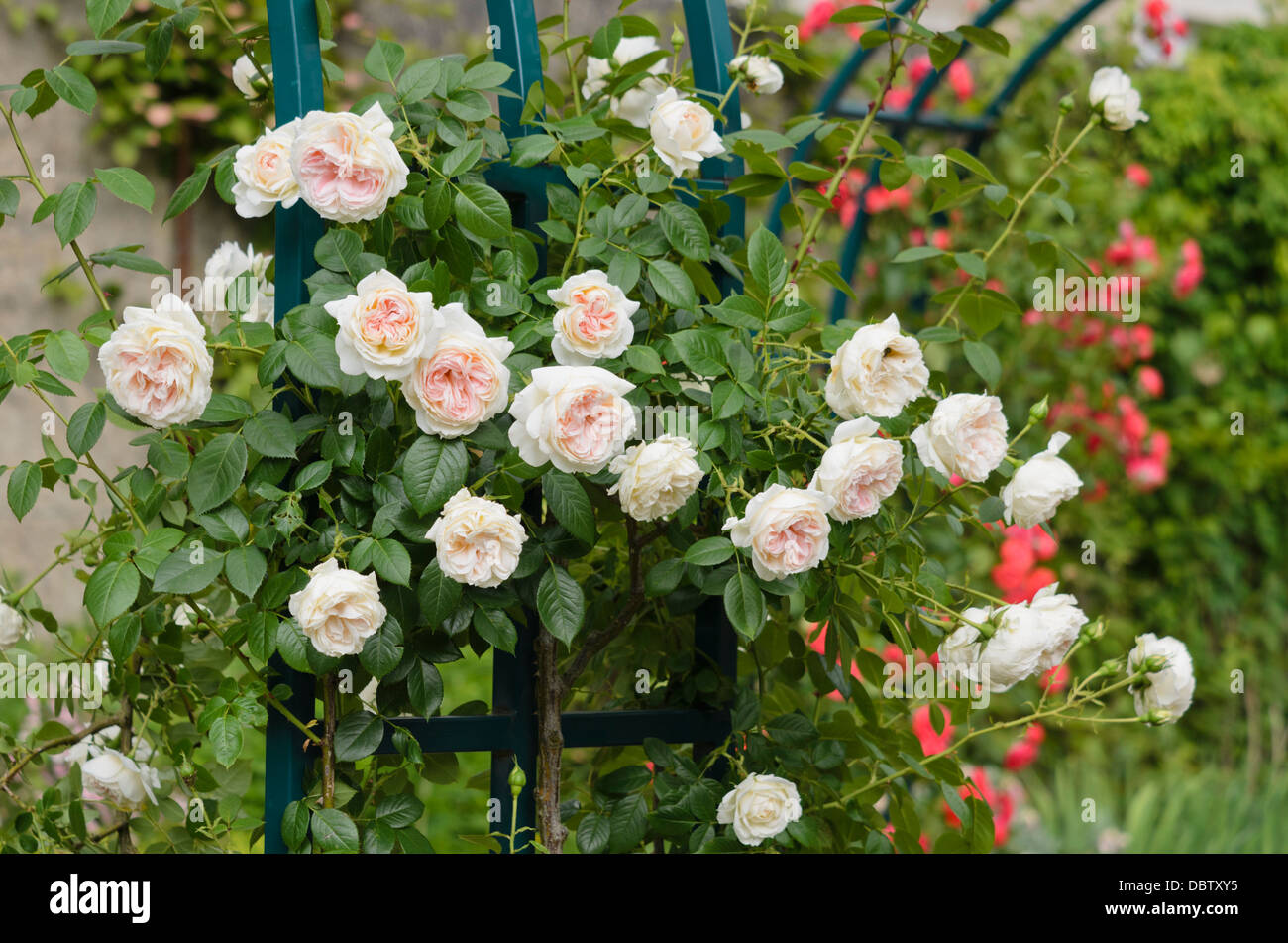 climbing rose rosa mon jardin et ma maison stock photo royalty free image 58940313 alamy. Black Bedroom Furniture Sets. Home Design Ideas