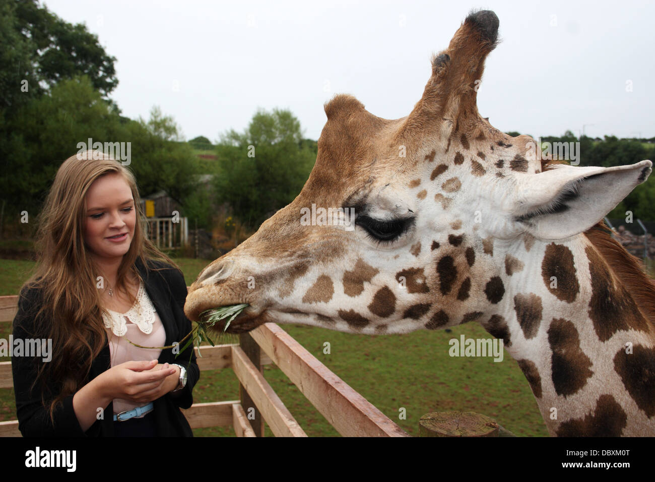 Young Woman Feeding A West African Giraffe From Her Hands