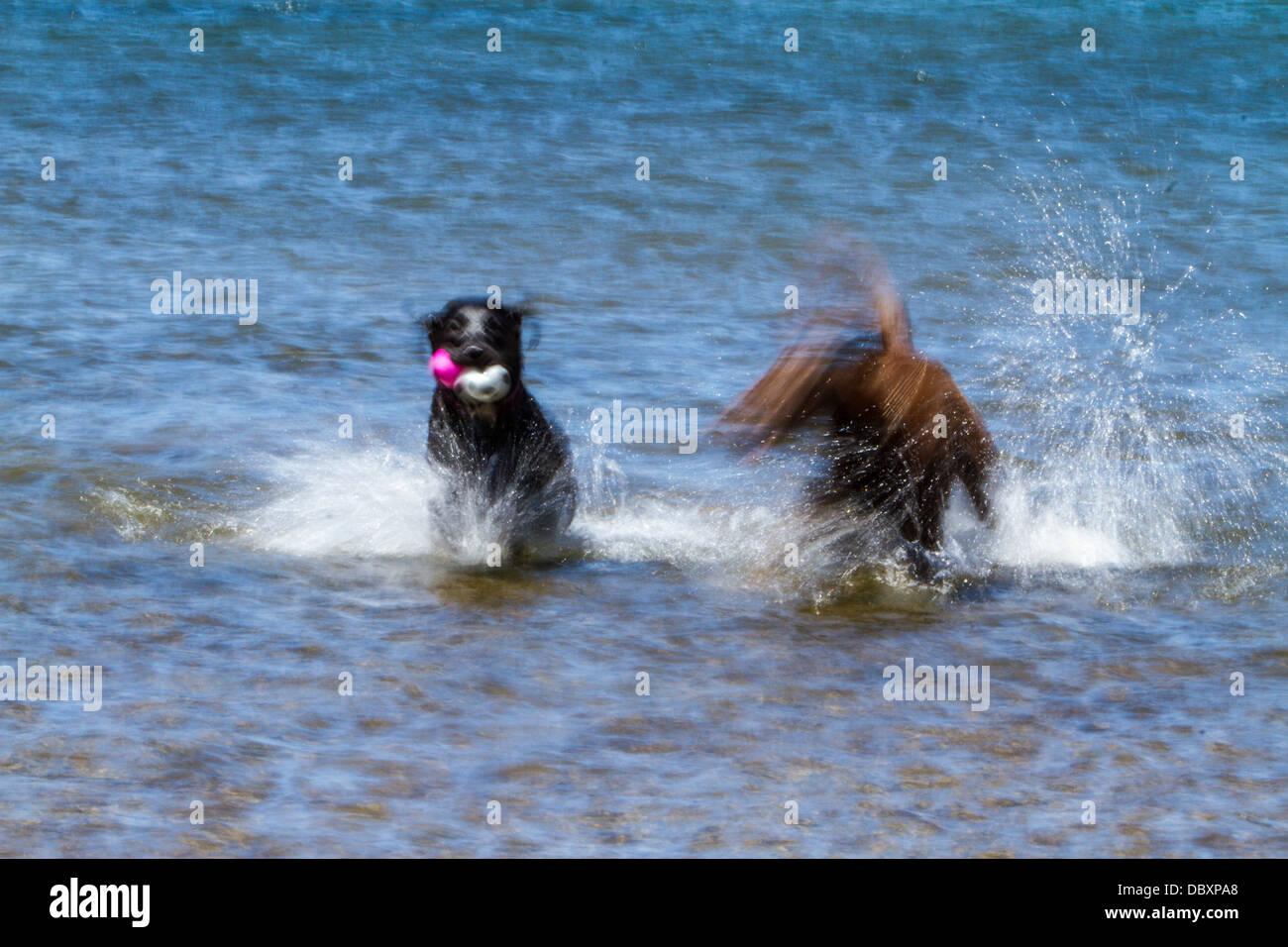 motion-blur-photos-of-labrador-retrievers-splashing-in-a-lake-DBXPA8.jpg