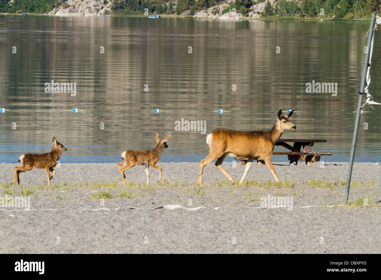a-california-mule-deer-doe-and-her-fawns-walk-along-the-swimming-beach-DBXPYD.jpg