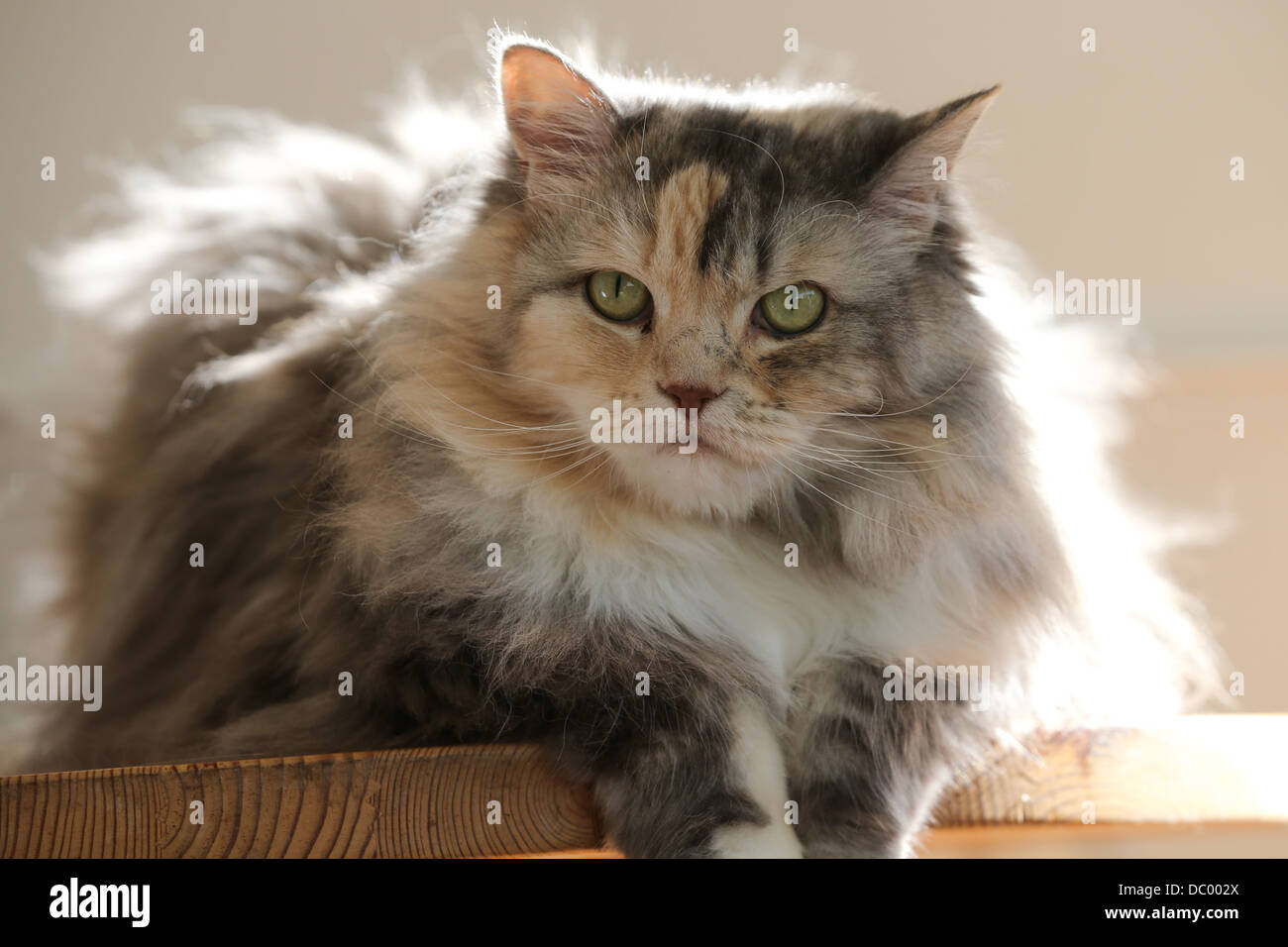CROSS BREAD BRED PERSIAN RAGDOLL ADULT CAT SITTING ON A TABLE