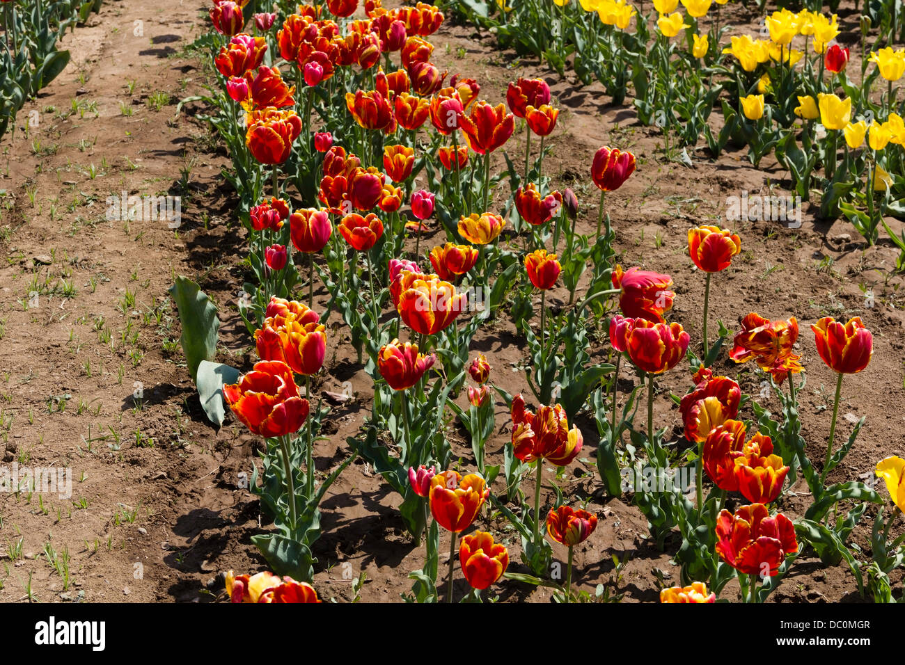 Row Flower Garden : Rows of tulips different colors inside the tulip garden