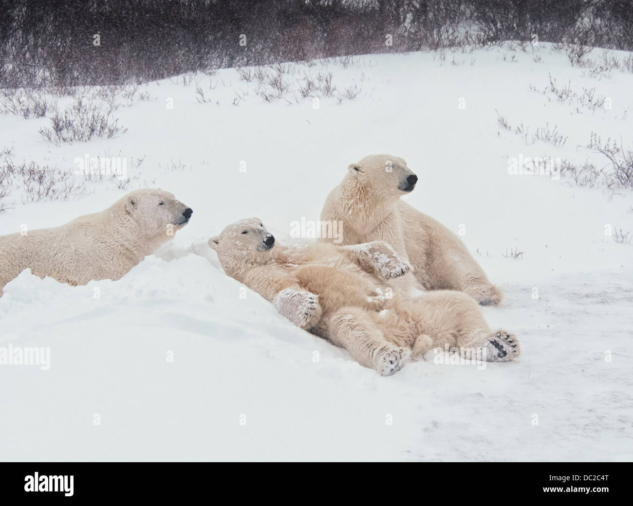 three-young-polar-bears-ursus-maritimus-