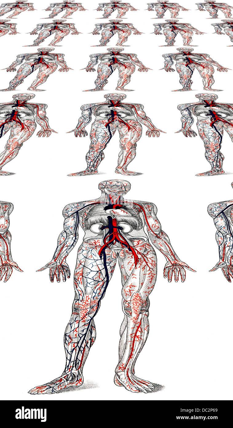 Erfreut Arm Blutgefäße Anatomie Galerie - Menschliche Anatomie ...