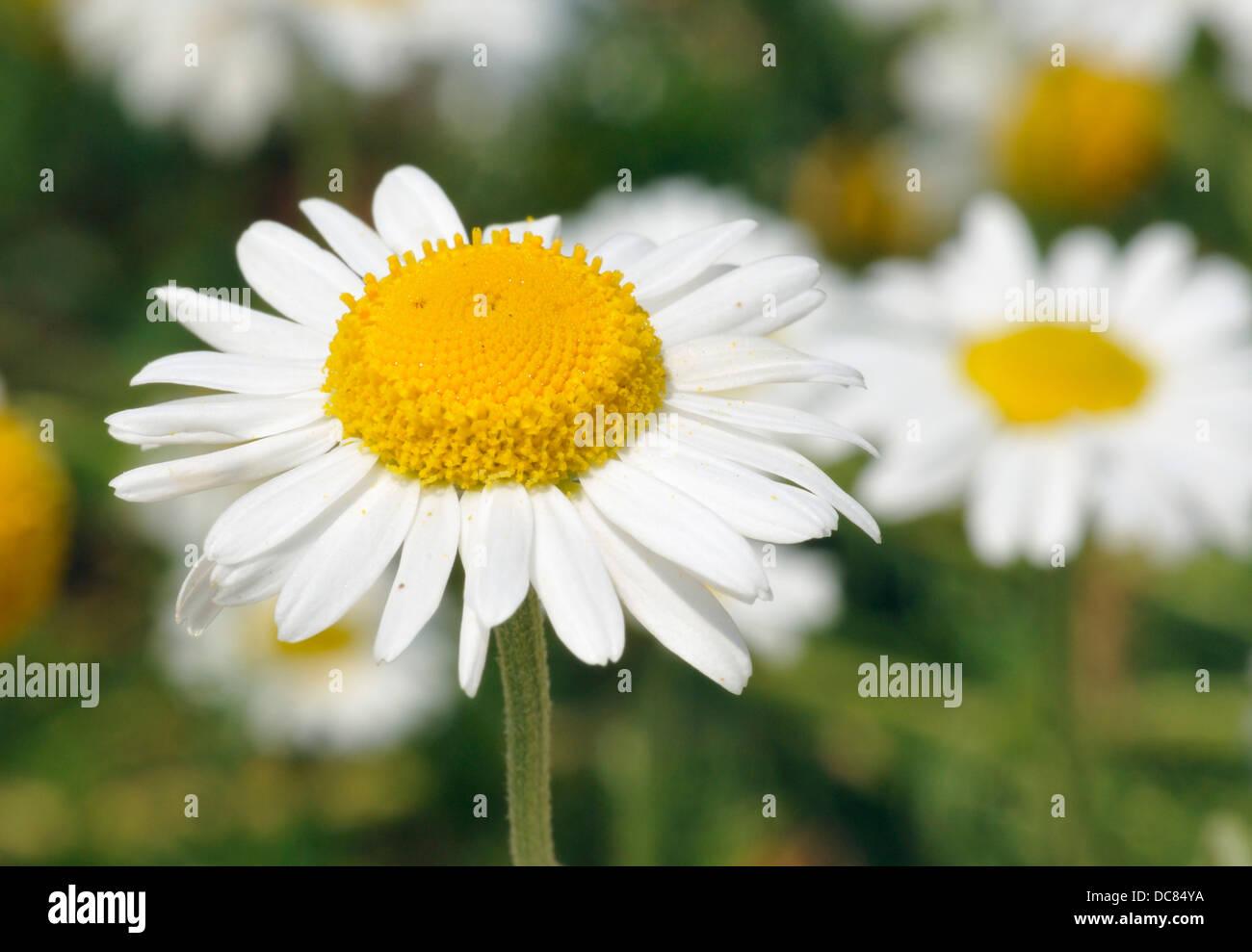 Chamomile chamaemelum nobile white daisy like flower stock photo chamomile chamaemelum nobile white daisy like flower izmirmasajfo Images