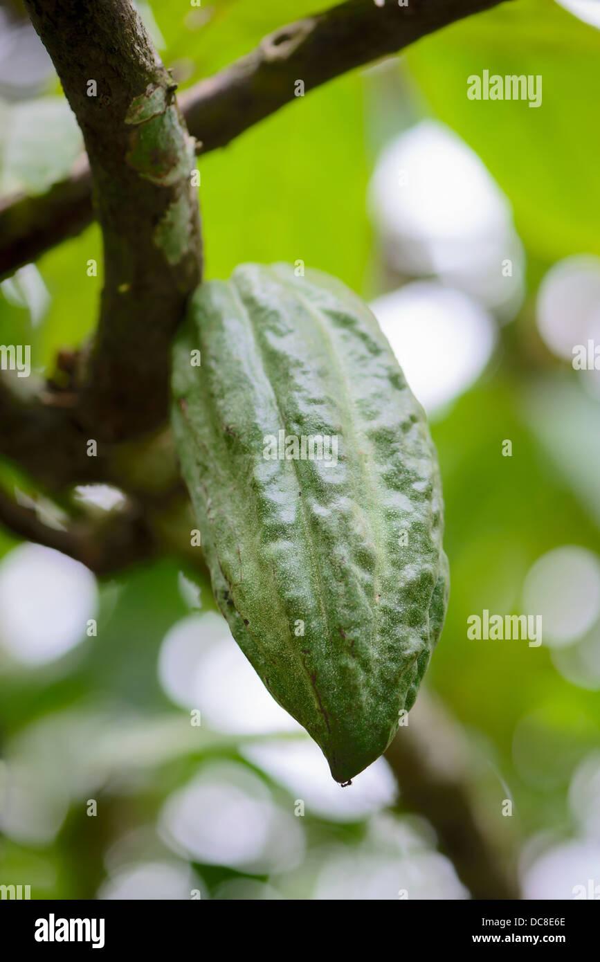 Pod on cocoa tree (chocolate tree), Bali island, Indonesia Stock ...