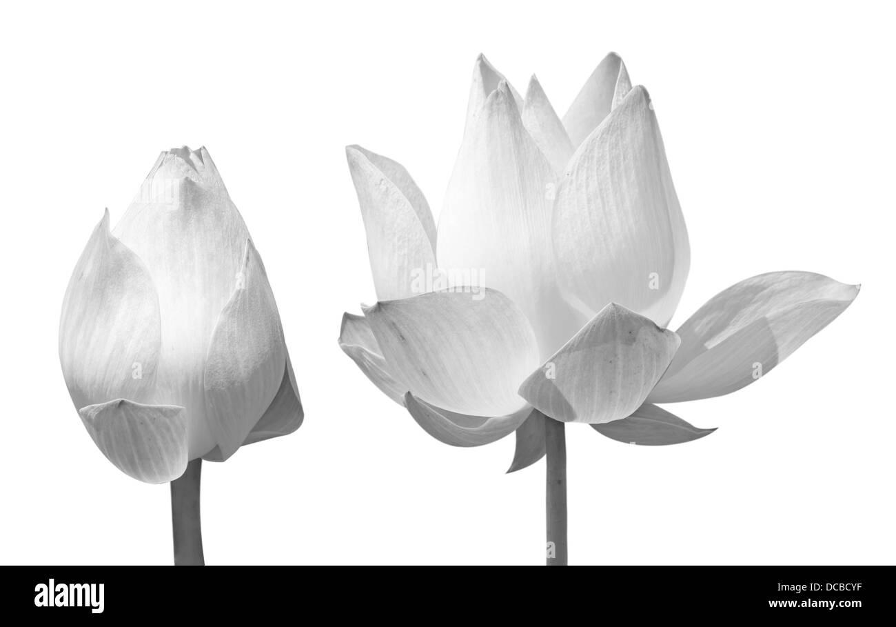Beautiful lotus black single lotus flower isolated on white stock beautiful lotus black single lotus flower isolated on white background black izmirmasajfo