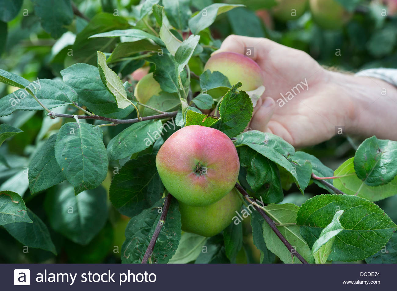 malus domestica 39 red melba 39 hand picking an apple from a tree stock photo royalty free image. Black Bedroom Furniture Sets. Home Design Ideas