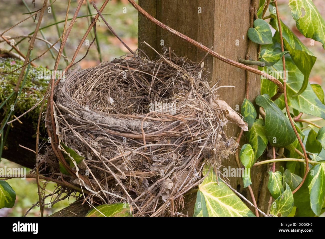 blackbird nest amsel gelege nest schwarzdrossel stock photo royalty free image 59373586. Black Bedroom Furniture Sets. Home Design Ideas