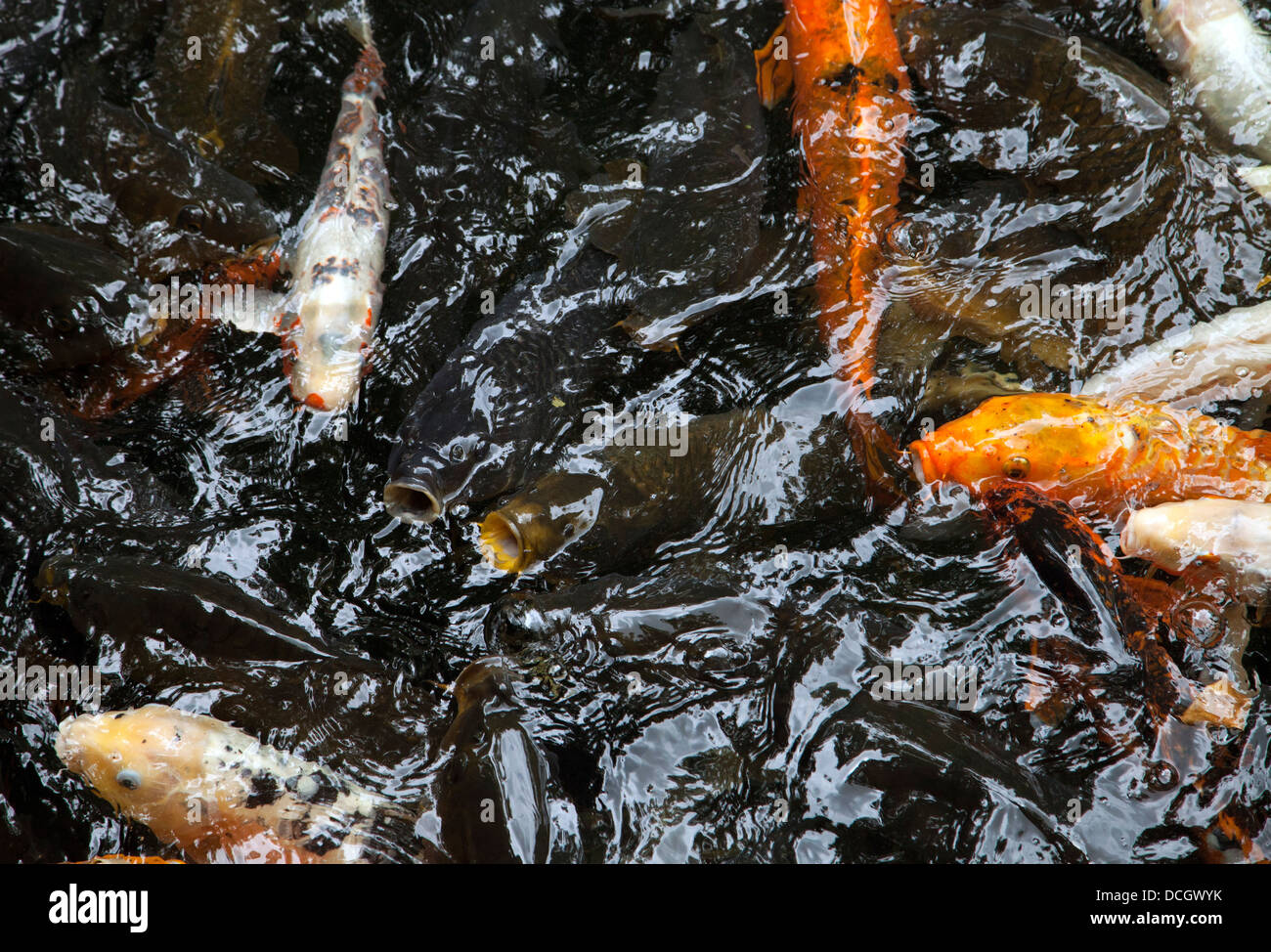 Sweet Goldfish Koi Pond Stock Photos  Goldfish Koi Pond Stock Images  With Hot Overhead Shot Of Koi  Stock Image With Adorable Restaurants Near Covent Garden London Also Childs Garden Swing In Addition Vertical Garden Ideas And Parking Busch Gardens As Well As Society Garden Designers Additionally Greenfingers Garden Furniture From Alamycom With   Hot Goldfish Koi Pond Stock Photos  Goldfish Koi Pond Stock Images  With Adorable Overhead Shot Of Koi  Stock Image And Sweet Restaurants Near Covent Garden London Also Childs Garden Swing In Addition Vertical Garden Ideas From Alamycom