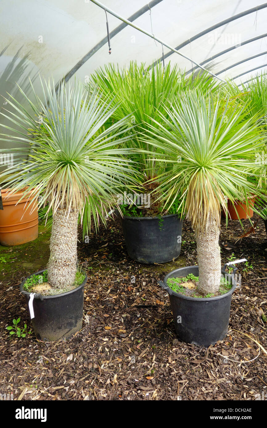 Exotic small palm trees yucca rostrata for sale in an for Small trees suitable for small gardens