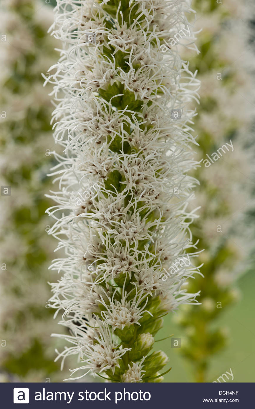 Dense blazing star liatris spicata alba white flower flowers spike stock photo dense blazing star liatris spicata alba white flower flowers spike summer perennial august garden plant dhlflorist Image collections