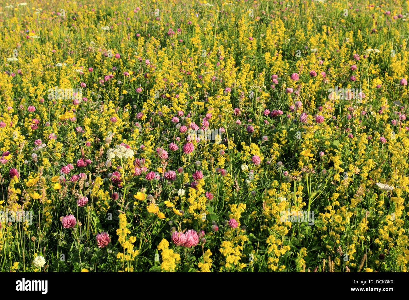 British Wild Flowers Red Clover And Lady 39 S Bedstraw Stock