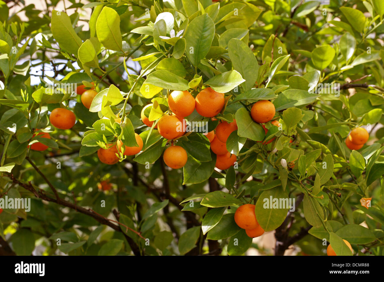 calamondin orange citrus madurensis rutaceae south china syn stock photo royalty free image. Black Bedroom Furniture Sets. Home Design Ideas