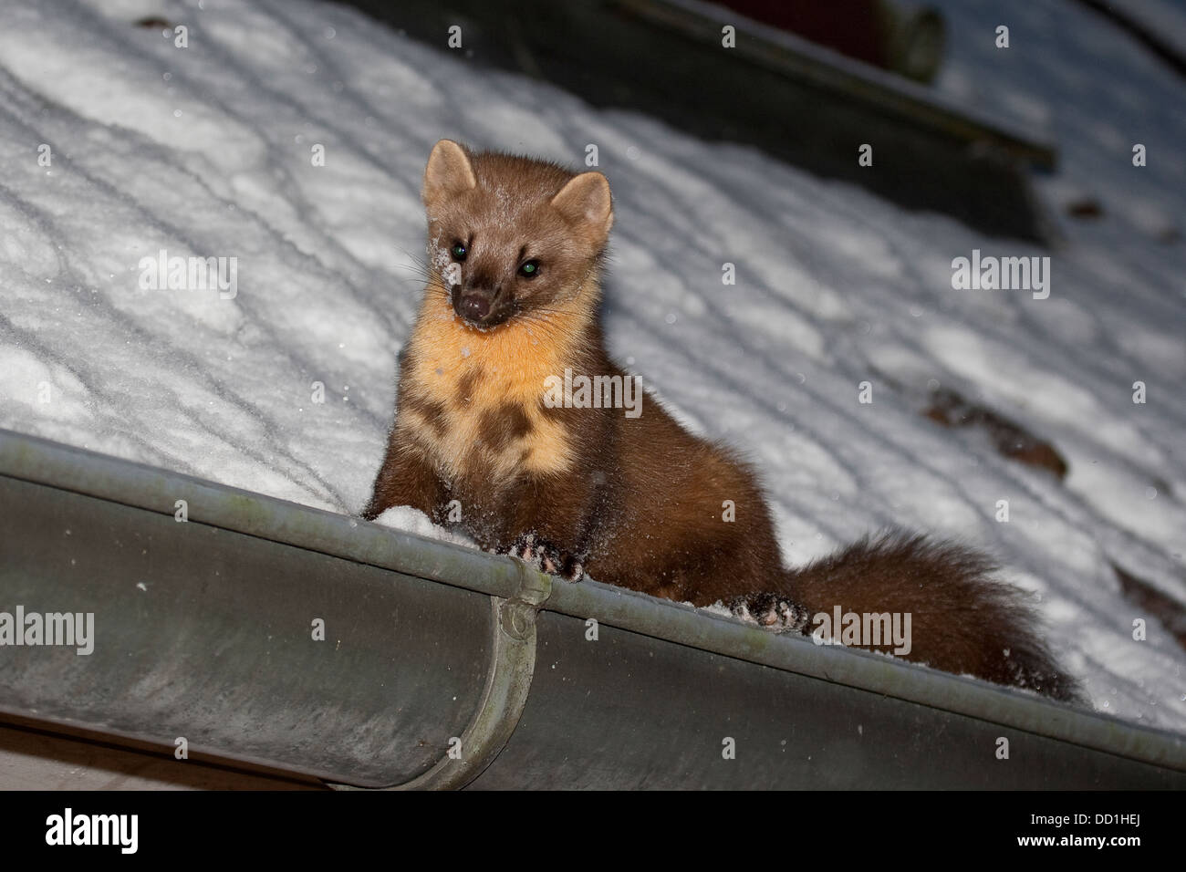 european pine marten winter snow baummarder baum. Black Bedroom Furniture Sets. Home Design Ideas