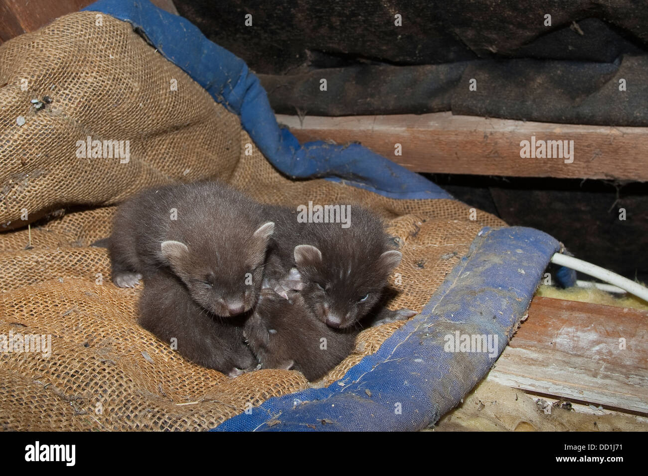 european pine marten baby baummarder tierbaby baum marder stock photo royalty free image. Black Bedroom Furniture Sets. Home Design Ideas