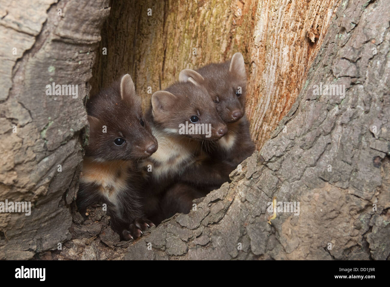 european pine marten baby baummarder tierbaby baum marder stock photo royalty free image