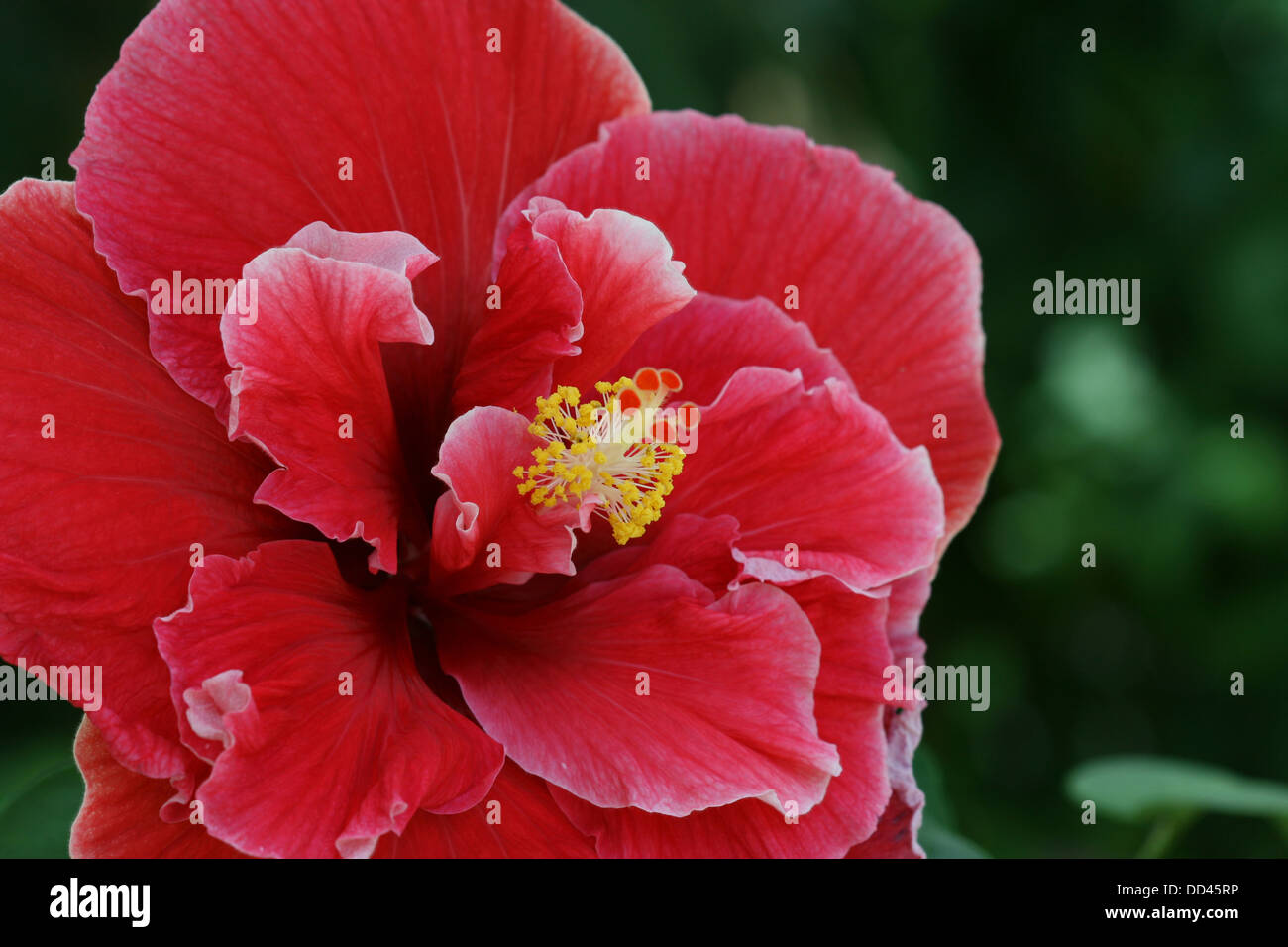Close up image of a double red hibiscus flower stock photo royalty close up image of a double red hibiscus flower izmirmasajfo Image collections
