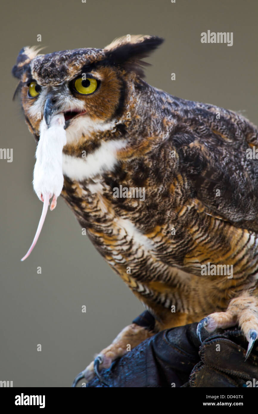 great horned owl bubo virginianus eating a mouse