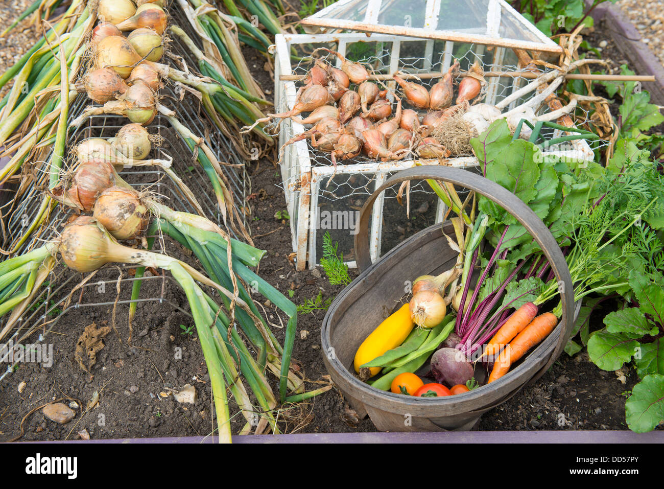 Late summer garden raised beds with drying onion crop and trug of