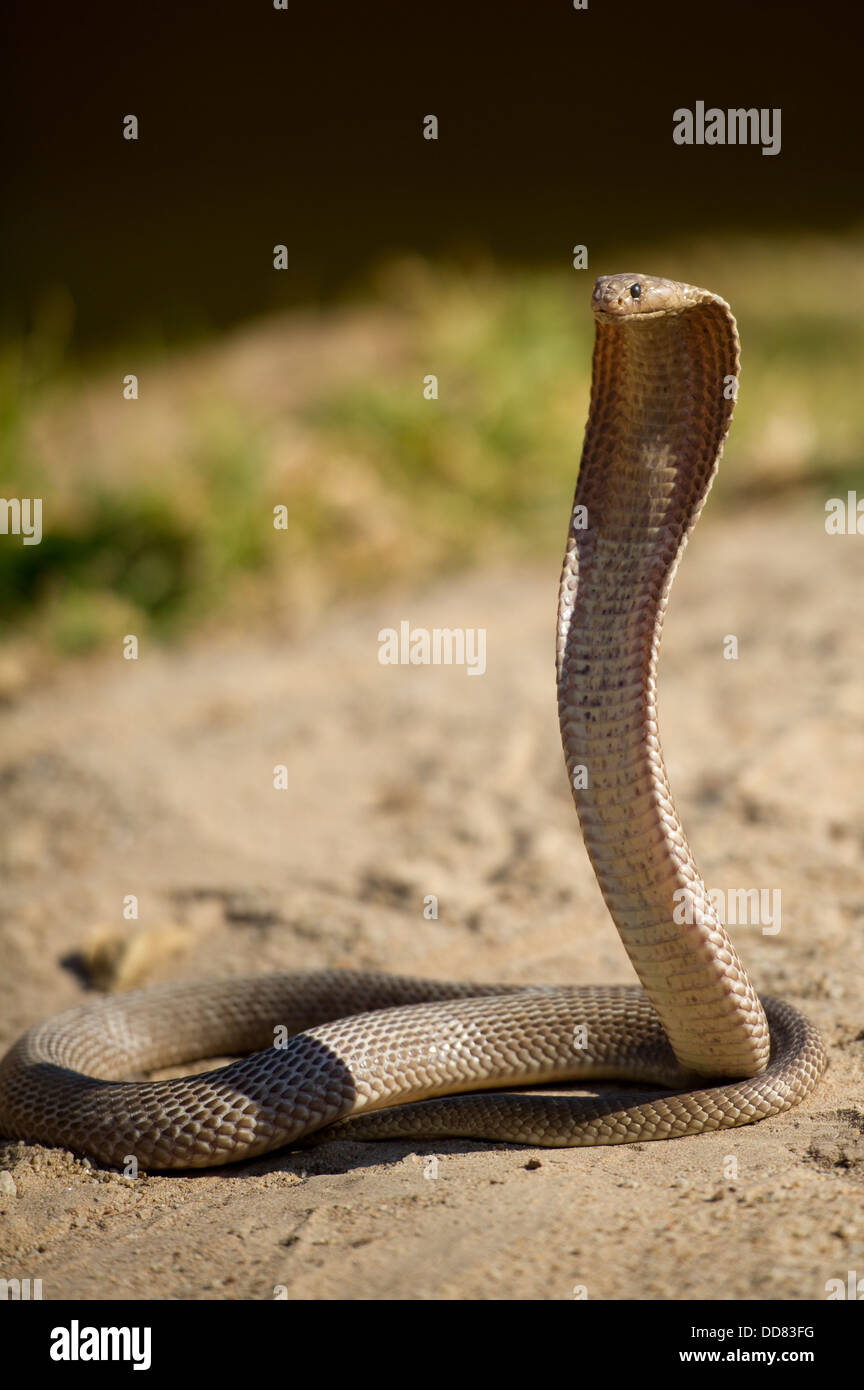 Stock Photo - Cape cobra, Naja nivea, South Africa