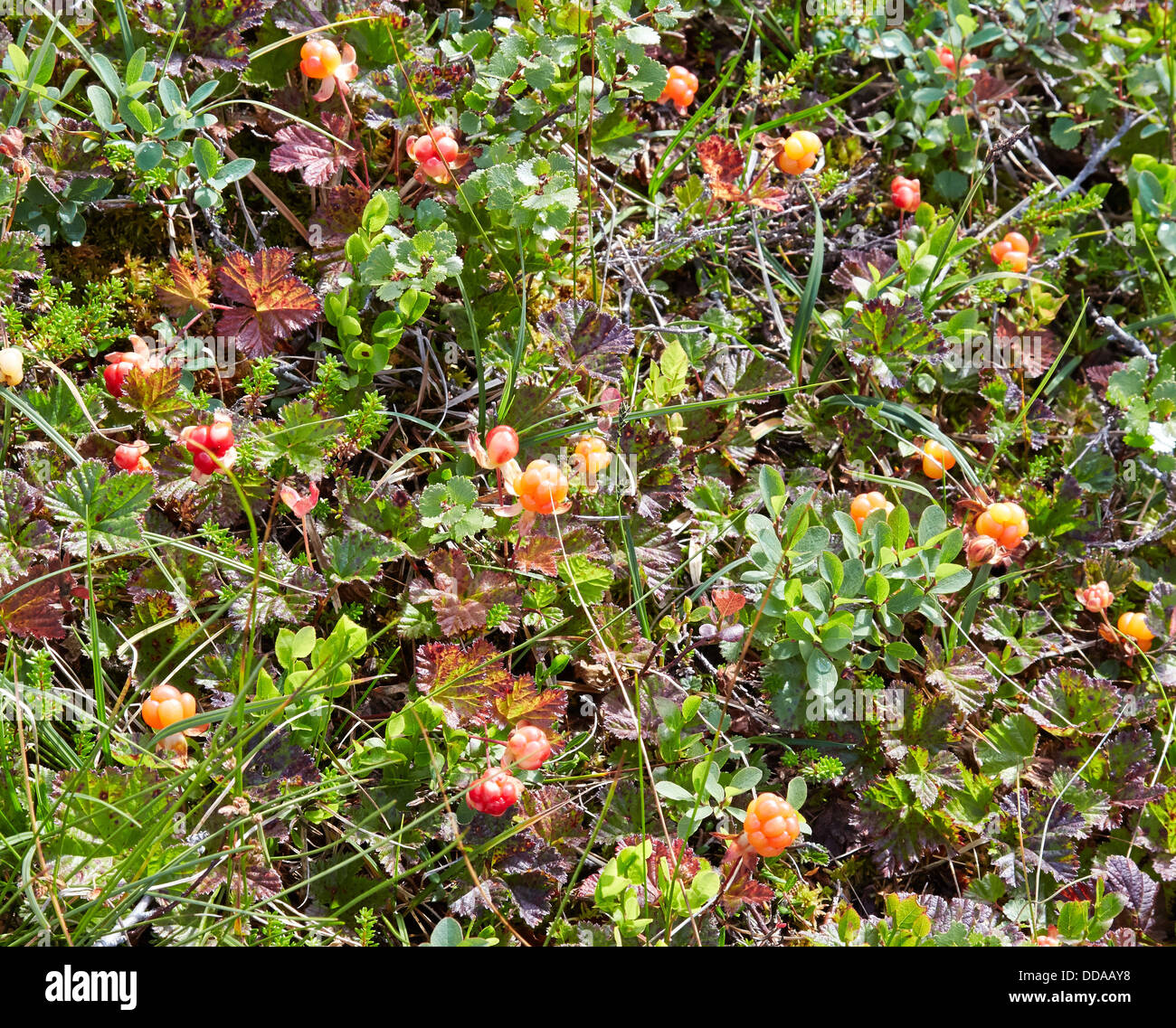 cloudberry rubus chamaemorus in a wet sphagnum bog in central norway stock photo royalty free. Black Bedroom Furniture Sets. Home Design Ideas