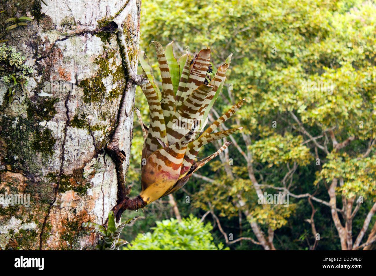 Bromeliad Aechmea Zebrina Growing On A Tree Trunk High