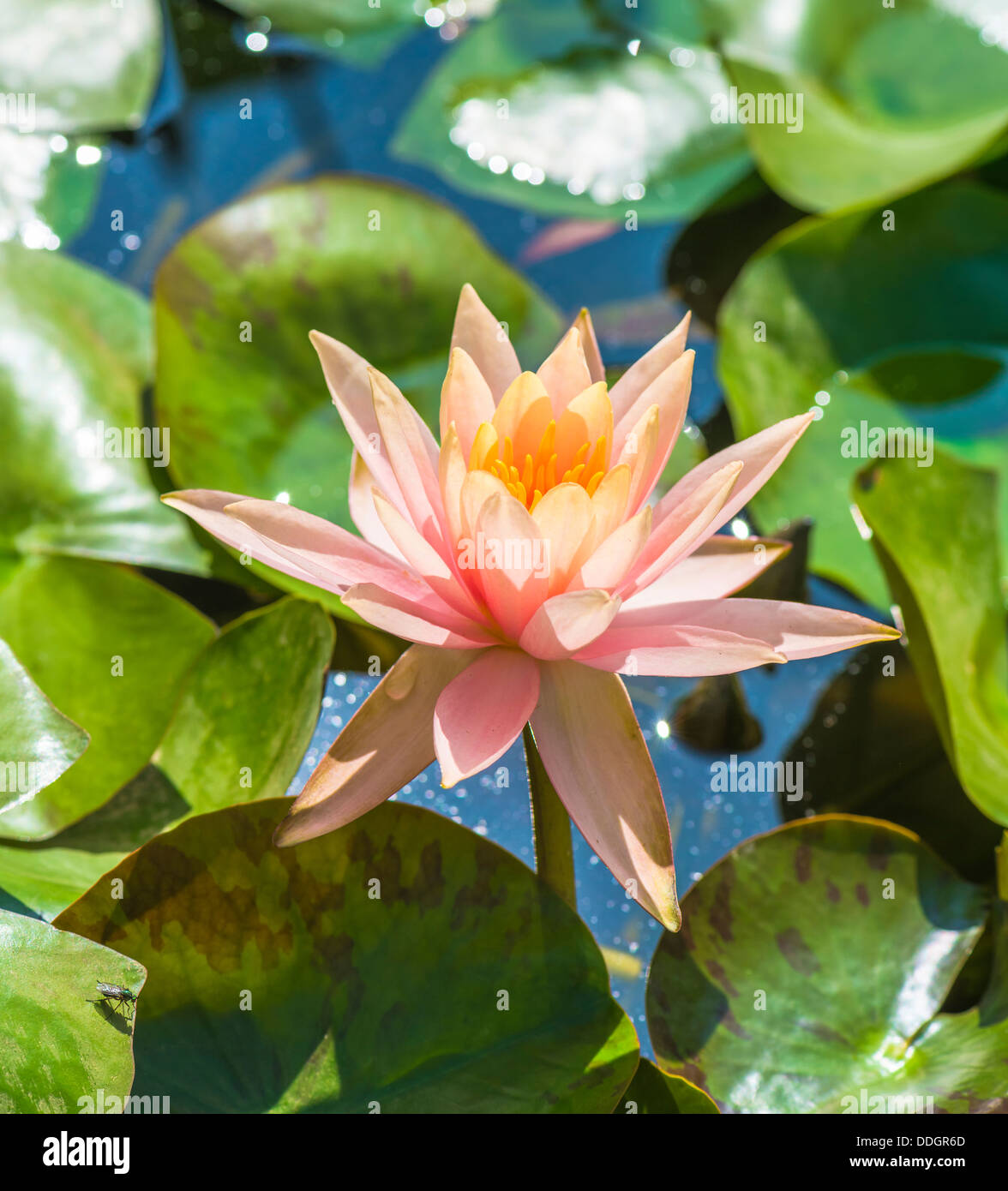 Orange lotus flower in a pond stock photo 59991077 alamy orange lotus flower in a pond izmirmasajfo Images