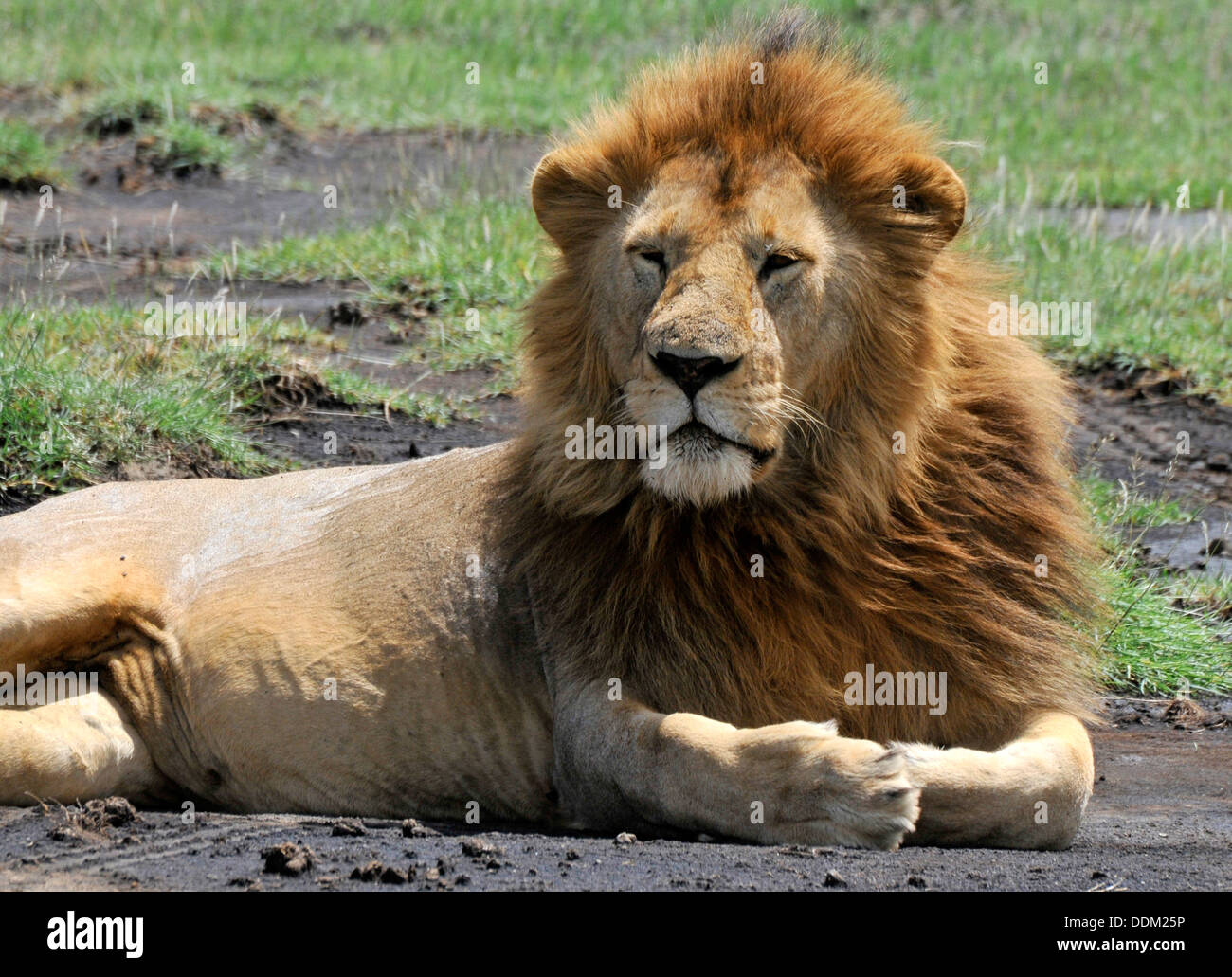 Alpha Male Lion, King Of The Savanna Tanzania Collection