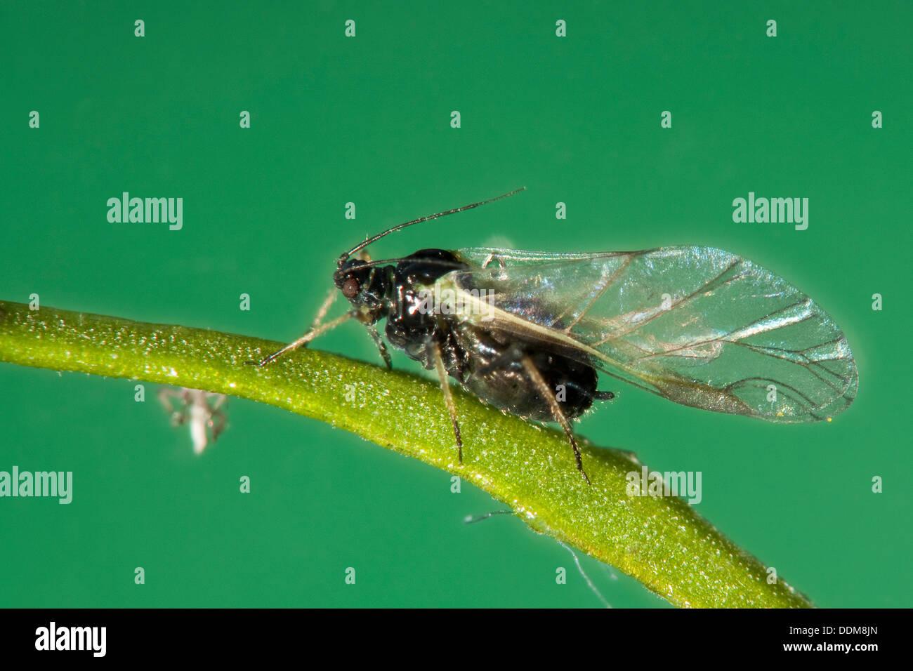 blackfly black bean aphid beet leaf aphid blattlaus. Black Bedroom Furniture Sets. Home Design Ideas