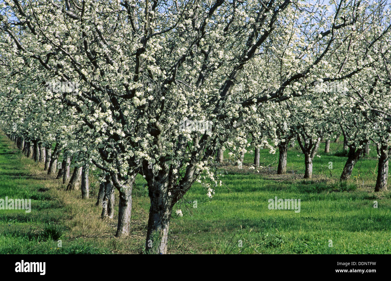 Prune orchard spring bloom yolo county california usa stock photo royalty free image - Spring trimming orchard trees healthy ...