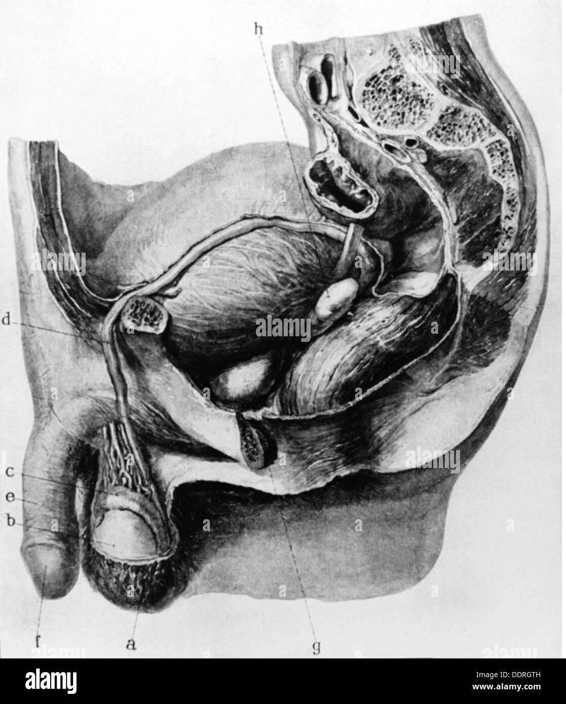 Medicine anatomy sexual organs schematic diagram of the male medicine anatomy sexual organs schematic diagram of the male genital with pelvis drawing circa 1910 20th century 1910s 10s pooptronica Images