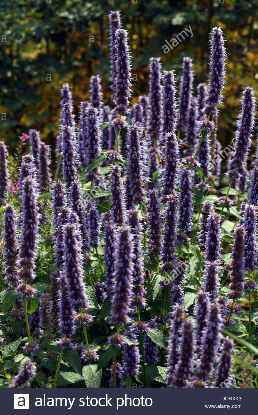 giant hyssop blue fortune - photo #18