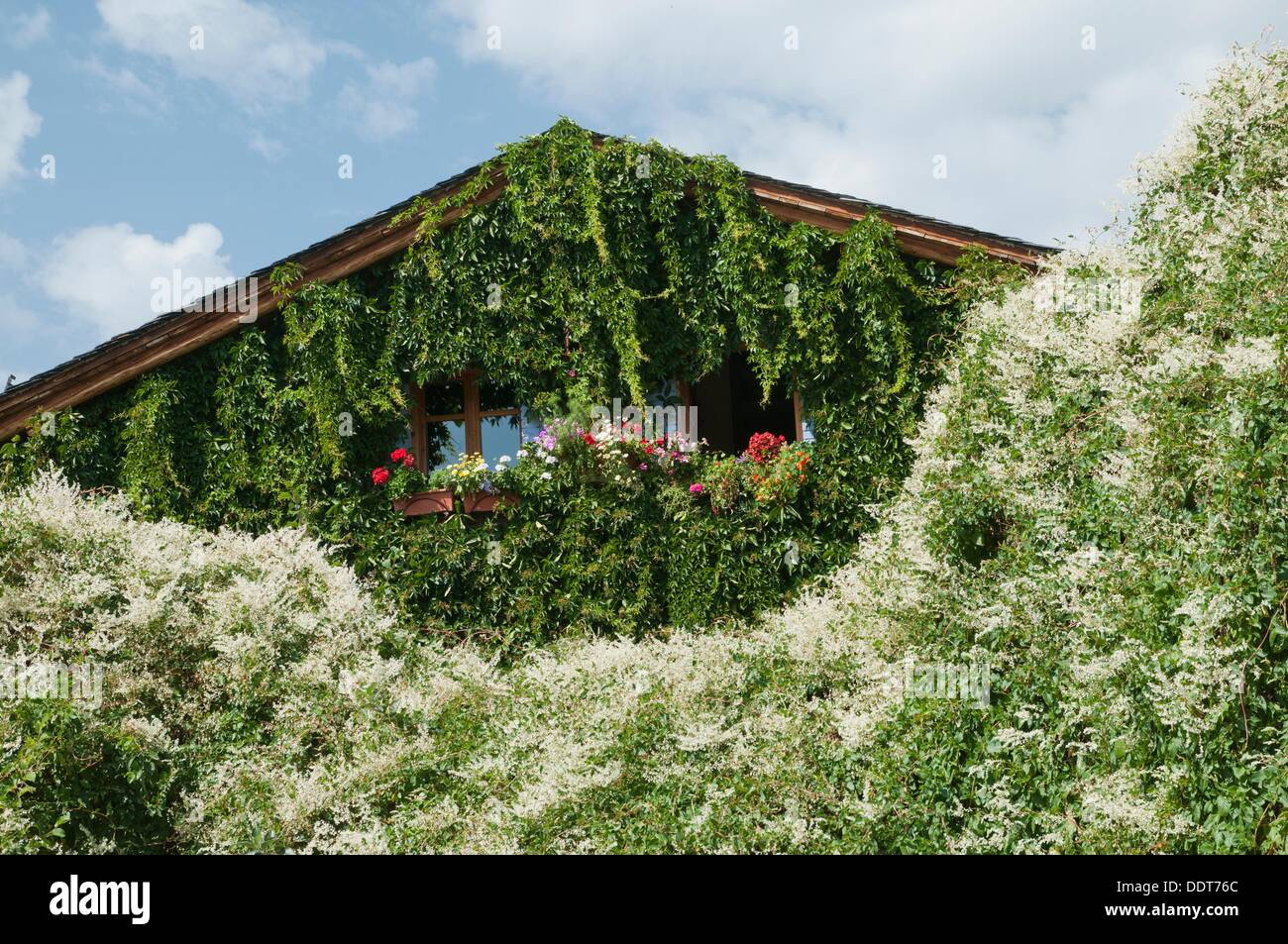climbing plants on the outer walls of a traditional house in the village of ller cerdanya valley pyrenees spain - Climbing Plants