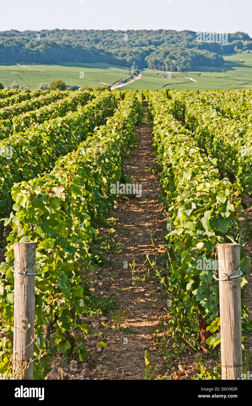 Champagne vineyards at dizy near epernay marne france for Champagne marne
