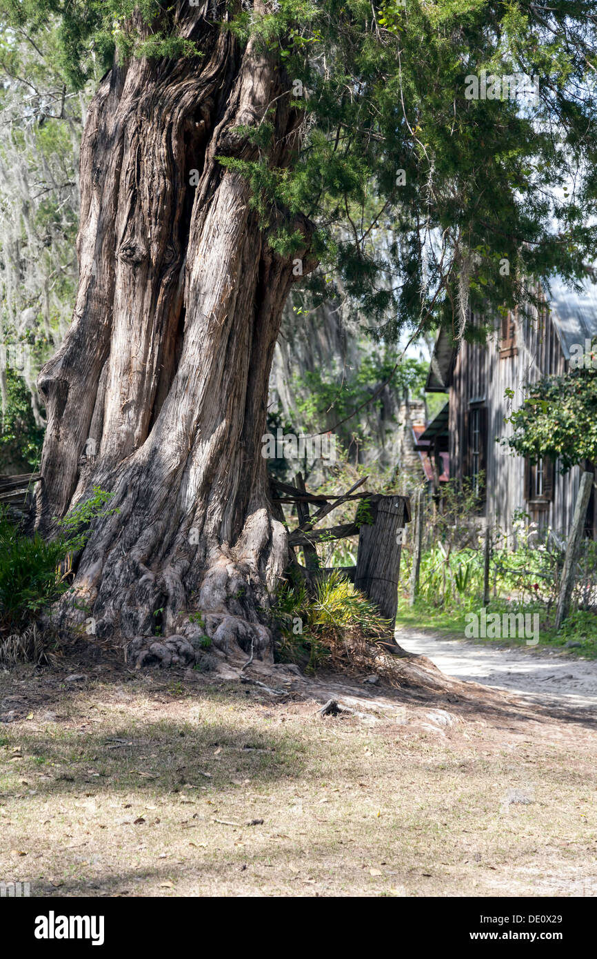 Southern Red Cedar ~ Gnarled old southern red cedar tree with an s era
