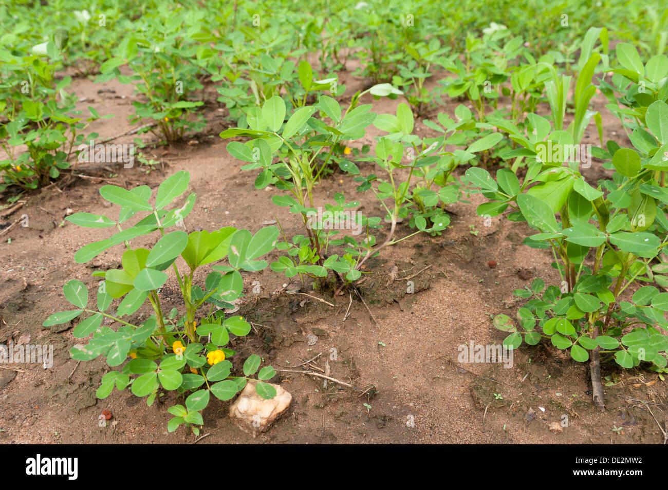 arachis hypogea Paula arachis hypogaea is on facebook join facebook to connect with paula arachis hypogaea and others you may know facebook gives people the power to.