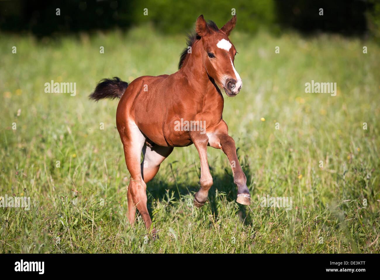 Bay Quarter Horse Foal