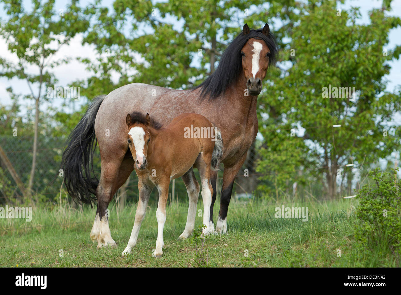 welsh pony section b strawberry roan mare foal standinga