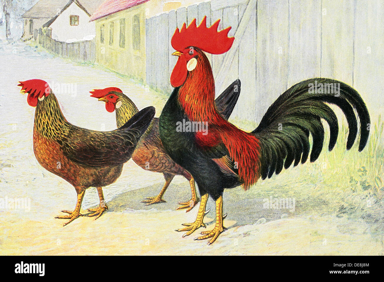 original illustration of a chicken rooster bird in a vintage