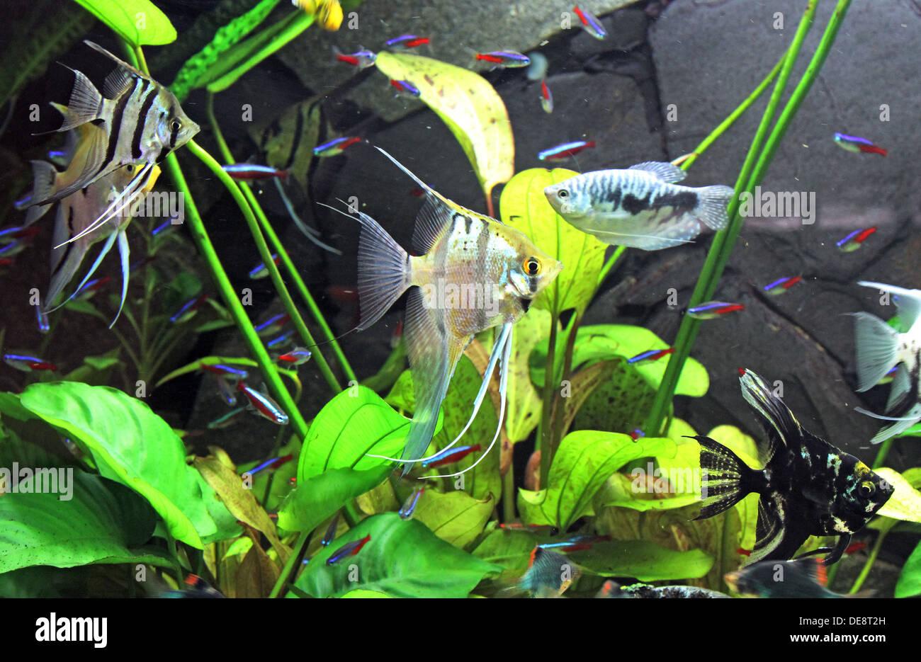 Freshwater aquarium fish neon - Berlin Germany Angelfish Blue Neon Tetra And Dwarf Gourami In A Fish Tank
